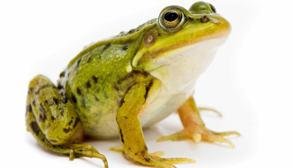 KUR MOT TRØSKE: Hvis du en gang får sopp på tungen burde du kanskje skaffet deg en frosk? Foto: Scanpix.