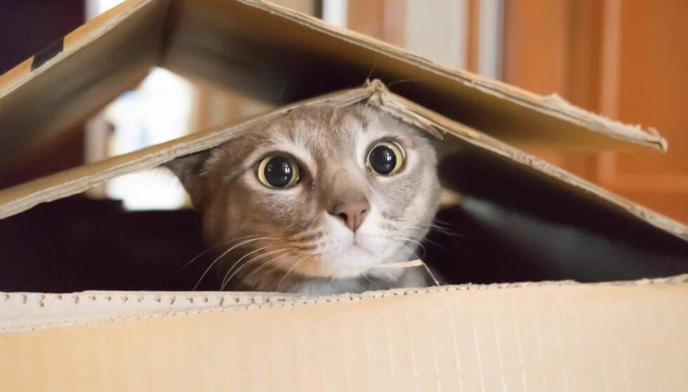 DEMENT: Gamle katter kan, som oss mennesker, bli demente. Foto: Scanpix.