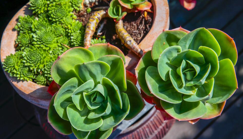 SUKKULENTER: Alt som ikke tåler frost, må settes inn om vinteren. Sukkulentene er blant plantene som må inn. FOTO: Lise Åserud / NTB scanpix