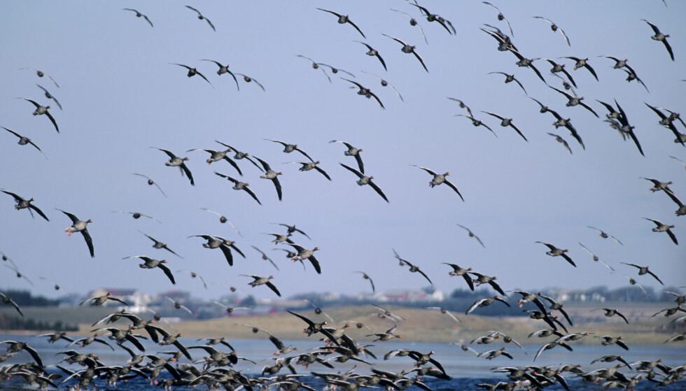 GRATIS: Å kikke på en gåseflokk på Jæren koster lite. Venter du på sjeldnere fugler, kan det riktignok koste deg noen timer. Foto: Roy Mangersnes / NN / NTB scanpix