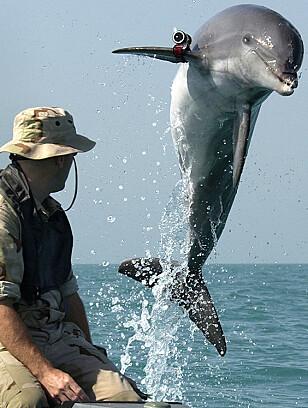 K-Dog, en delfin som hører til det amerikanske forsvaret. Foto: AP Photo