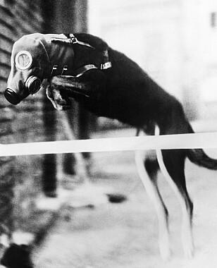 HUND: Et av de mest brukte dyrene er hunder. De finnes i mange militære støttefunksjoner, også i dag. Foto: AP Photo