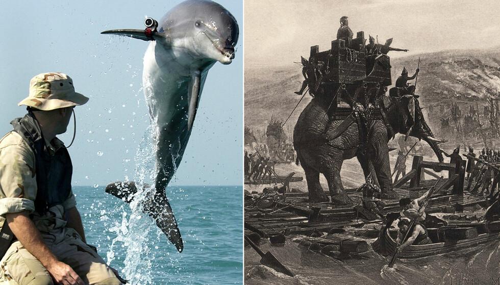 KRIG: Dyr er brukt i krigføring i lang tid, både i frontlinjen og til støtteoperasjoner. Foto: Henri Motte/ AP Photo