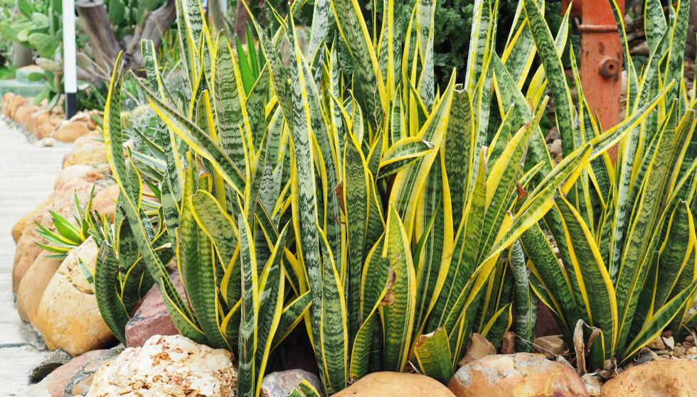 SVIGEMORS TUNGE: Planten har fått sitt navn etter formen på bladene og trenger lite vanning. Foto: Shutterstock