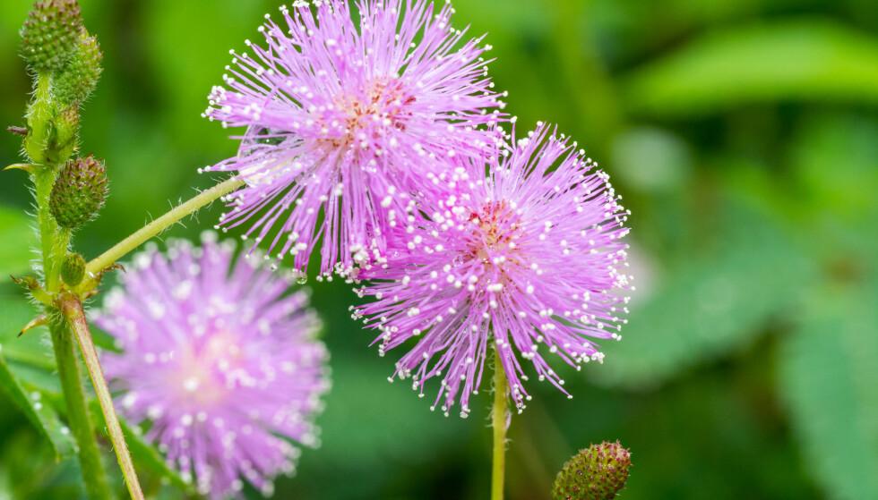 SANSEPLANTE: Denne planten rører på seg hvis du er nær den. Foto: Shutterstock