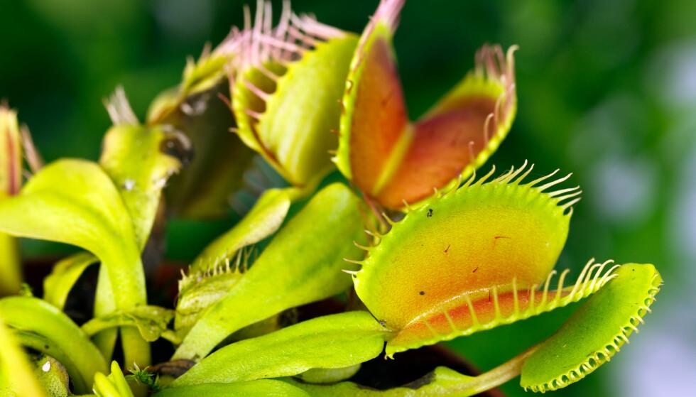 VENUS FLUEFANGER: Krever grønne fingre. Foto: Shutterstock