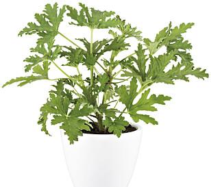 DUFTPELARGONIA. Planten kan gi deg nydelige duftopplevelser. Foto: Plantasjen.