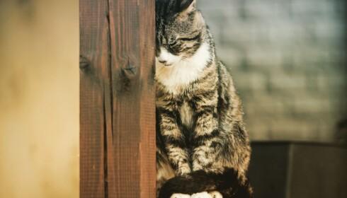 INNEKATT: Hvis katten har vært mye ute vil den trives dårligere inne. Foto: Shutterstock