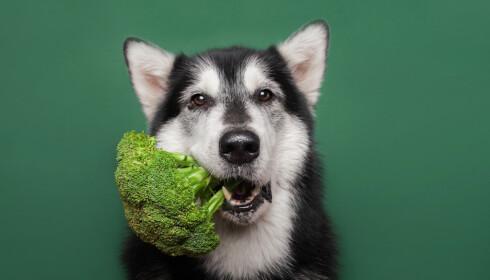 KAN LEVE AV GRØNT: Hundene kan i teorien leve av en vegansk diett, men det anbefales ikke av Dyrebeskyttelsen Norge. Foto: Malamooshi / Shutterstock / NTB scanpix.