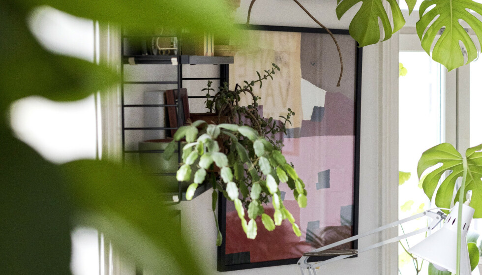 GRØNT: Den levende atmosfæren forsterkes av at leiligheten bugner av grønne planter. Rundt 80 i tallet, anslår paret. Foto: Tore Meek / NTB scanpix.