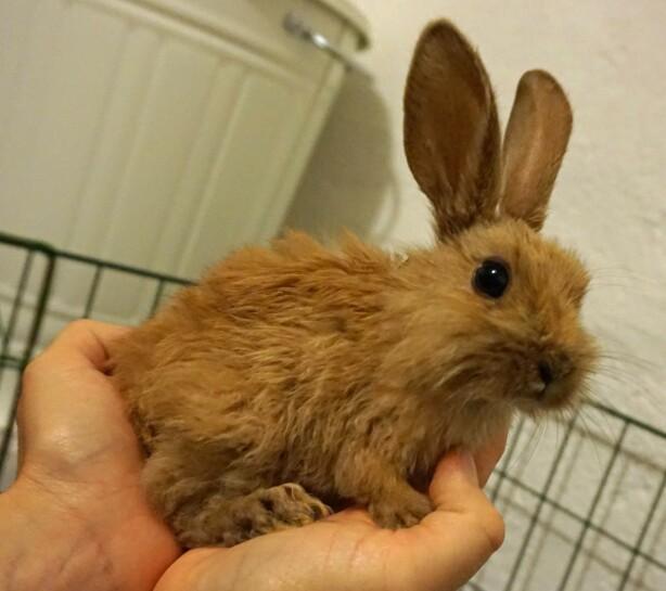 PJUSK KANIN: Flere av kaninene som ble hentet fra huset var pjuske. Foto: Dyrebeskyttelsen Norge.