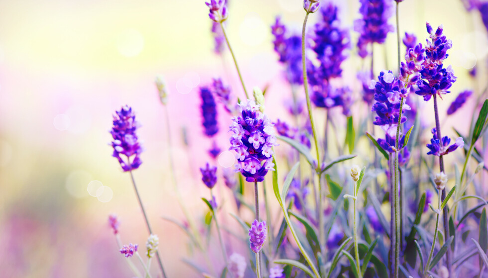 TÅLER TØRKE: Lavendel tåler tørke bedre enn mange andre planter. Foto: Anna Subbotina/Shutterstock/NTB scanpix.
