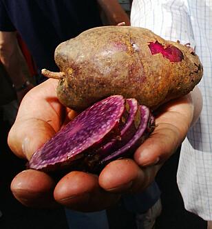 Blå Kongo er en lilla potet som smaker og brukes som vanlig potet. Foto: Heiko Junge/SCANPIX