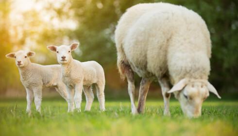Norsk lammekjøtt får smak av hvilet beite dyrene har gått på. Foto: Scanpix