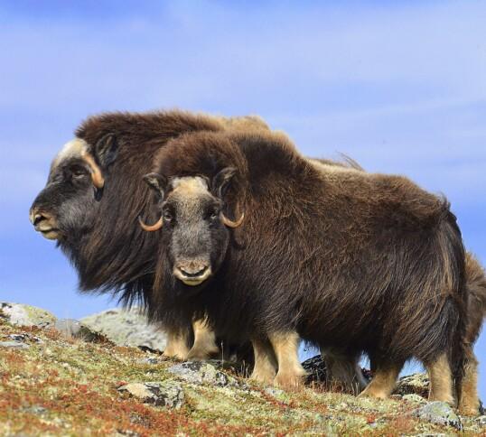 MOSKUS: De ikoniske dyrene trives i de tidvis værharde omgivelsene på Dovrefjell. Foto: Ronny Frimann