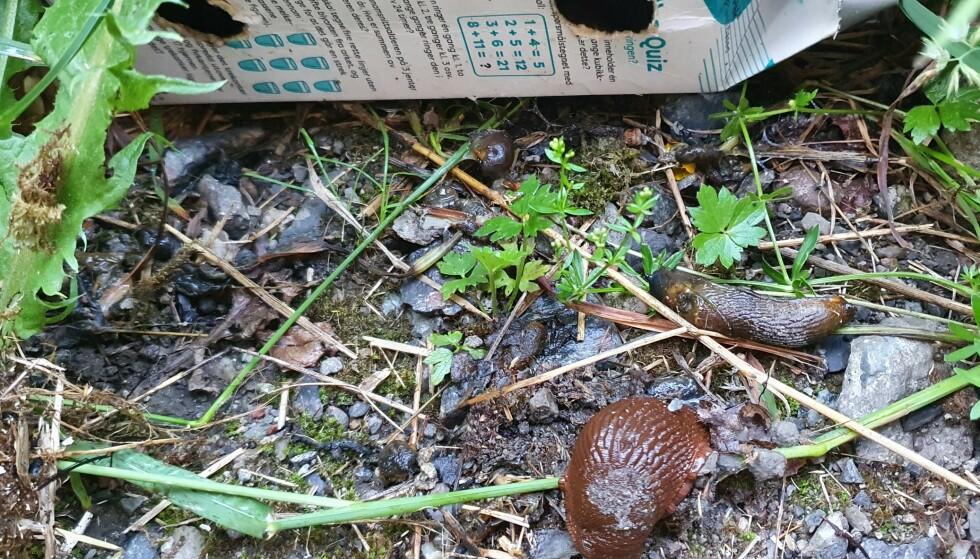 Syke snegler utenfor en hjemmelaget sneglefelle på Konnerud. Hagelaget har opplevd aksjonen som svært effektiv. Foto: Mai-Therese Halle