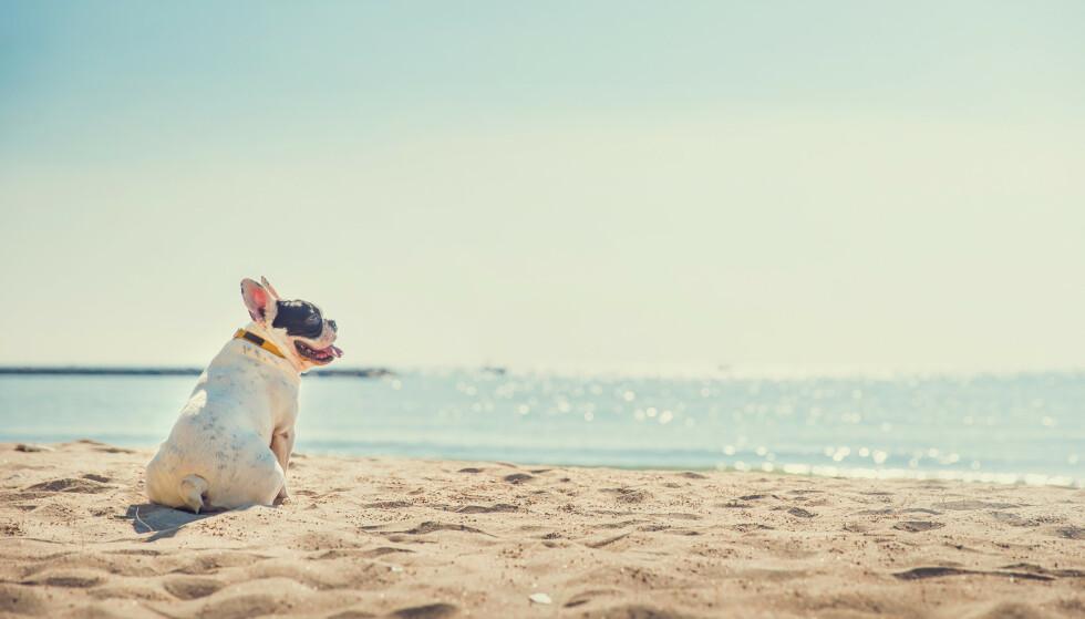 Kortsnutede hunder som mops og fransk bulldog tåler dårlig varme. Ingen hunder tåler å gå langt på varmt underlag. Illustrasjonsfoto: Shutterstock/NTB Scanpix