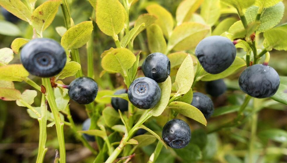 LOVENDE: Nå er det bare å forberede seg på å plukke blåbær. Foto: Gorm Kallestad NTB Scanpix