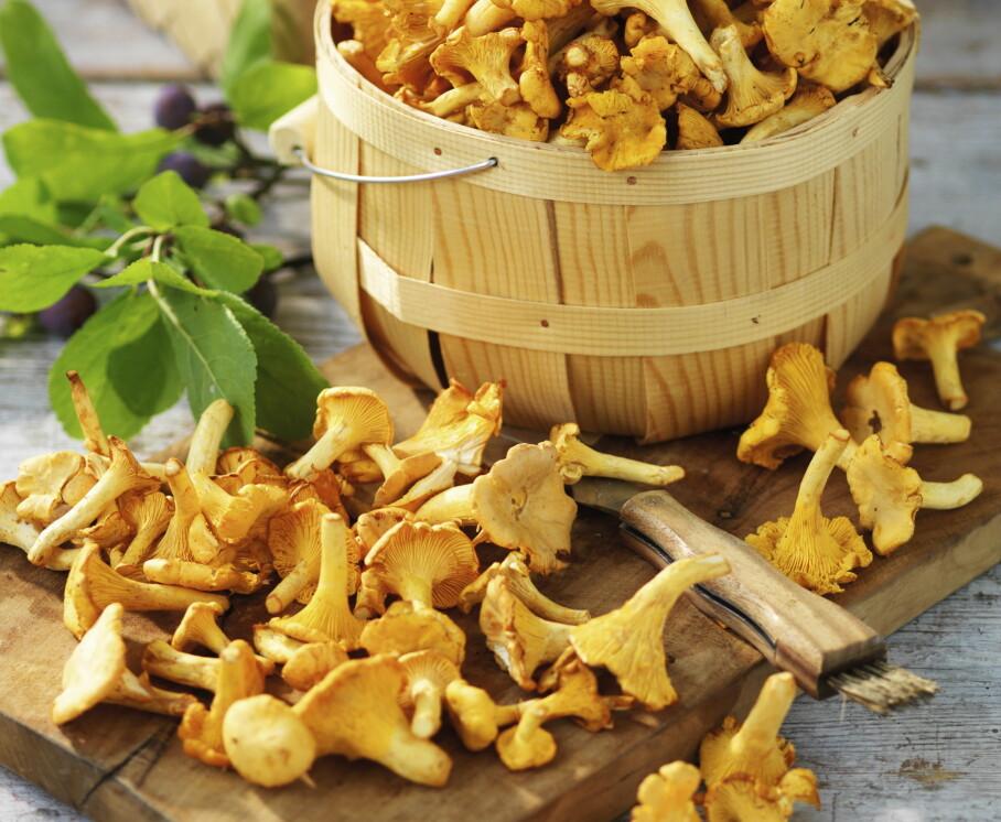 Kantarellen: Den gyllengule soppen lyser i skogen og er en av de sikreste og beste matsoppene. Foto: Aller Media