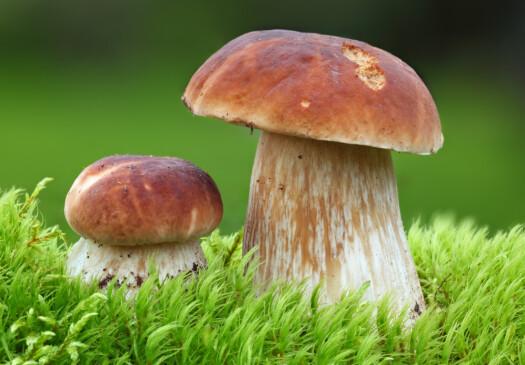 STEINSOPP: Har halvkuleformet, lyst sjokoladebrun til mørkebrun hatt. Overflaten er glatt i tørt vær og litt glinsende og klebrig i fuktig vær. Stilken kan bli 12 cm høy, tykk og vanligvis sterkt oppsvulmet nederst. Fargen er lys brun og litt ujevn i fargen. Rørlaget er blekt gulhvitt. Soppen finnes i løv- og barskog fra juli til oktober. Smaken minner om hasselnøtter. Regnes som vår beste matsopp og egner seg for steking og tørking. Foto: Shutterstock