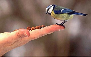 Slik gir du riktig fugleomsorg i vinterkulda