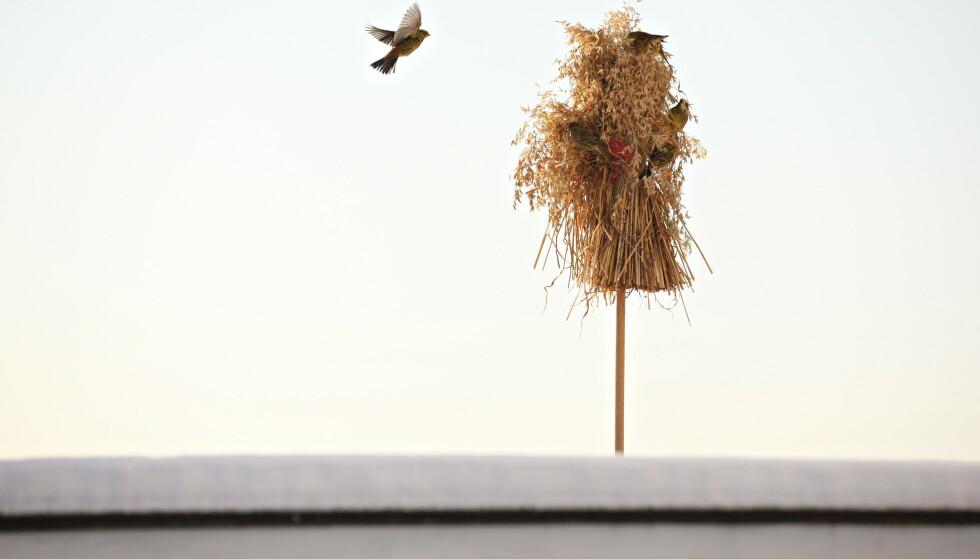 JULENEK: Ikke bare godt for spurven, men koselig vinterpynt også! Foto: Anette Karlsen/NTB