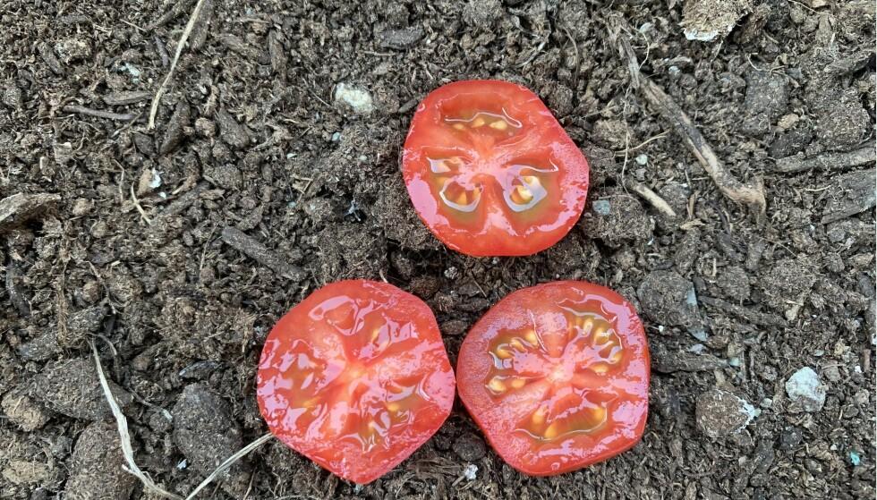 IKKE GJØR DETTE: Mange hagebloggere og andre har delt dette tipset de siste årene: Om å dyrke tomatplanter fra hele skiver av tomat kjøpt i butikken. Mattilsynet advarer om at det kan bidra til sredning av plantesykdommer. Foto: Birgitte Hoff Lysholm