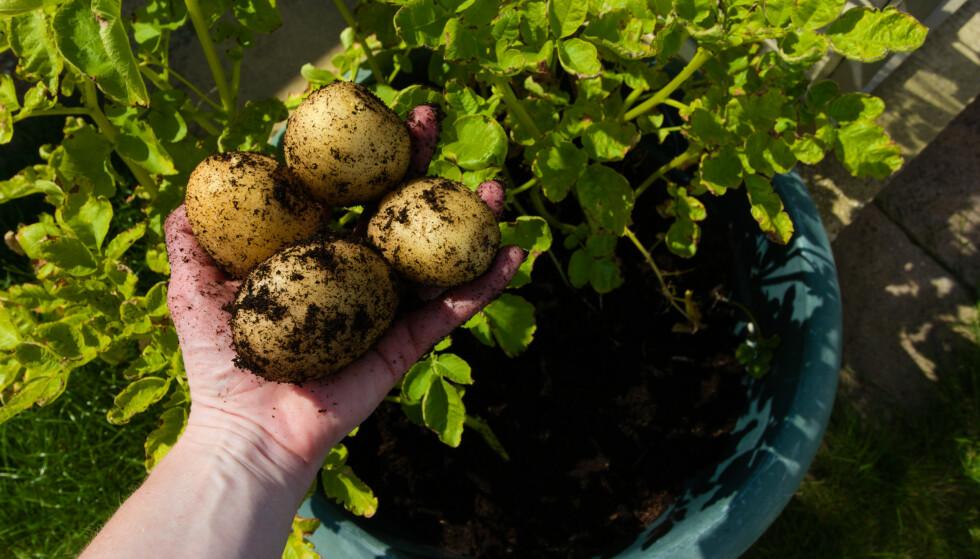 POTET I POTTE: Du kan dyrke poteter selv om du ikke eier en åker. Nå kan du også kjøpe sertifiserte settepoteter i mindre kvanta som passer bedre for balkongbønder enn de store eskene som ble solgt på hagesentre før. Slik håper Mattilsynet å gjøre det enklere å dyrek trygt også i småskala. Illustrasjonsfoto: Shutterstock/NTB