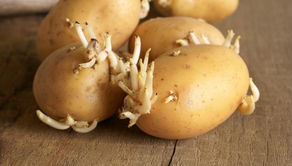 Når potetene i grønnsaksskuffen begynner å spire, er det kanskje fristende å la dem formere seg i jord. Gjør du det med matpoteter kjøpt i butikken, risikerer du å spre potetsykdommer. Illustrasjonsfoto: Shutterstock/NTB