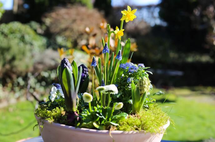 De første løkplantene er sikre vårtegn for mange av oss. Se så fine de blir i en sammenplanting! Foto: Shutterstock/NTB