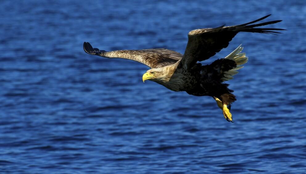 Havørnsafari: Smøla Naturopplevelser arrangerer havørnsafari på bestilling. De stiller med kunnskap, båt og så godt som garanti for å komme tett på den mektige rovfuglen. En fantastisk opplevelse! Fra kr 890 per person. Foto: Runar Larsen