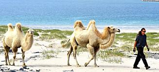 Flyttet fra storbyen og kjøpte kameler i Finnmark: Nå kan du overnatte hos Oddveig og kamelfamilien