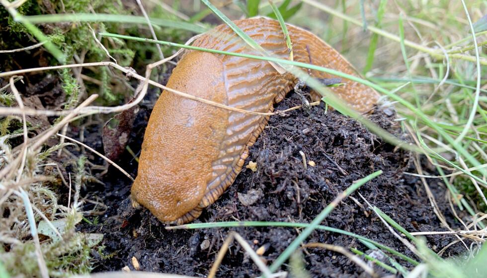 SNEGLER I HAGEN? Brunsneglene er mer aktive og legger egg nå og utover høsten. Rydder du i hagen og fjerner snegler og egg nå, har du gjort mye for å begrense plagene til neste år. Foto: Kristin Sørdal
