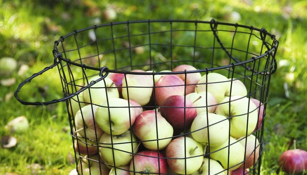 GODE EPLEOPPSKRIFTER: Er du glad i epler, er dette tiden for å teste ut noen nye epleoppskrifter. Både på trærne og i butikkene er det nå norske epler å få. Foto: Arto Vuohelainen
