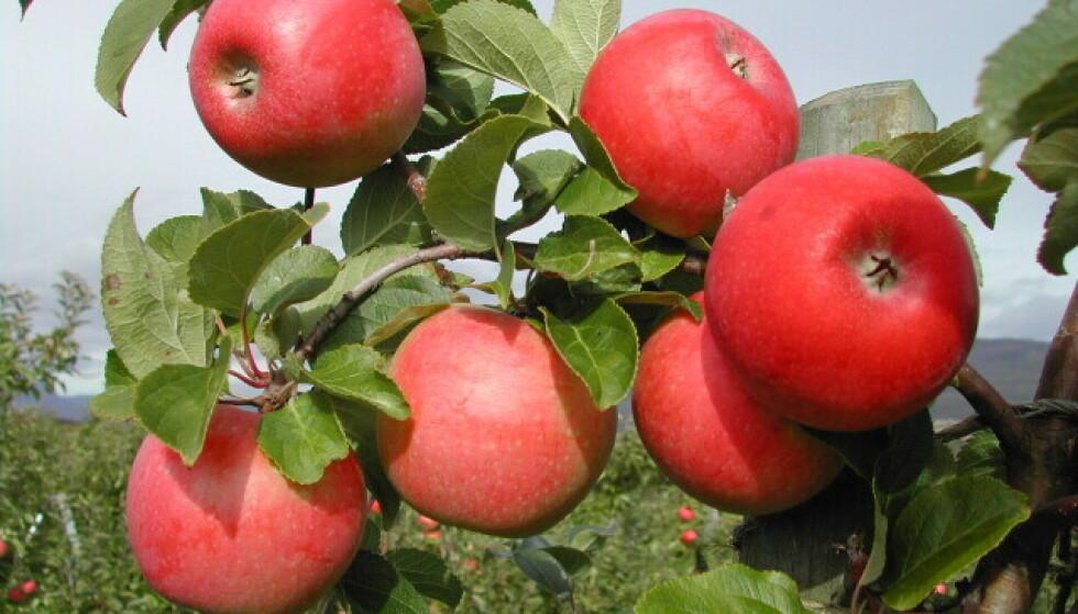 Eplesorten Rød aroma. Foto: Frukt.no