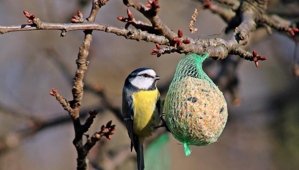 MATE FUGLER? Styr unna meiseboller med plastnetting, advarer Dyrebeskyttelsen. Småfuglene kan sette seg fast i nettingen og få plastdeler i magen. Foto: Shutterstock/NTB