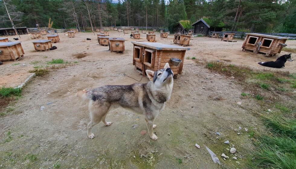Sven Engholm har drevet med hundekjøring i mange år. I Karasjok kan du møte hans mange Alaska Huskyer, og prøve hundekjøring selv. Foto: Siri Wolland
